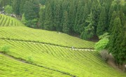 green-tea-farm-6-1492811-640x480