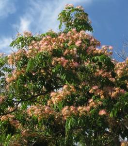 drevo albi